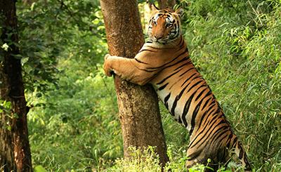 India_Kanha_rahvuspark-seeder_v